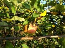 Ένα ώριμο μήλο σε έναν κλάδο Στοκ εικόνα με δικαίωμα ελεύθερης χρήσης