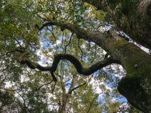 Ένα acient δέντρο Στοκ Εικόνα