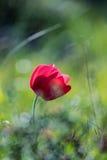 Ένα anemone 2 λουλουδιών άνοιξη Στοκ φωτογραφία με δικαίωμα ελεύθερης χρήσης