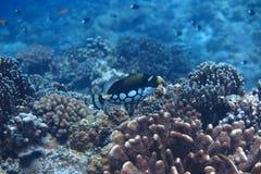 Ένα angelfish Στοκ Εικόνα