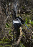 Ξεραίνοντας φτερά Anhinga - ανοίξεις Wakulla Στοκ φωτογραφίες με δικαίωμα ελεύθερης χρήσης