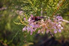 Ένα apterus Pyrrhocoris firebug σε έναν ανθίζοντας κλάδο, το νησί Krk, Κροατία Στοκ εικόνα με δικαίωμα ελεύθερης χρήσης