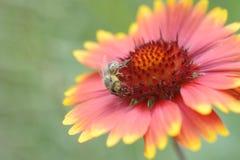 Ένα aristata gaillardia λουλουδιών επικονίασης μελισσών Στοκ Φωτογραφίες