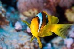 Ένα bicinctus Amphiprion κινηματογραφήσεων σε πρώτο πλάνο Ερυθρών Θαλασσών anemonefish Στοκ Εικόνες