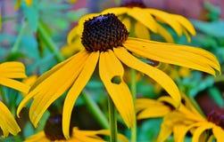 Ένα Blacked η eyed Susan Στοκ φωτογραφία με δικαίωμα ελεύθερης χρήσης