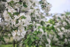 Ένα brunch του ανθίζοντας δέντρου μηλιάς Στοκ φωτογραφία με δικαίωμα ελεύθερης χρήσης