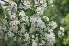 Ένα brunch του ανθίζοντας δέντρου μηλιάς Στοκ Εικόνες