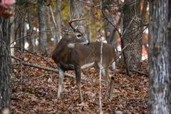 Ένα Buck στα ξύλα με τα φύλλα στο έδαφος Στοκ Φωτογραφία