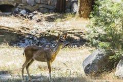 Ένα buck στο εθνικό πάρκο Yosemite Στοκ εικόνα με δικαίωμα ελεύθερης χρήσης