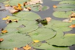 Ένα Bullfrog κρύψιμο Στοκ Φωτογραφίες