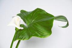 Ένα calla λουλούδι, πράσινο φύλλο (που διορθώνεται) Στοκ Εικόνες