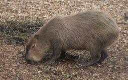 Ένα Capybara Στοκ εικόνες με δικαίωμα ελεύθερης χρήσης
