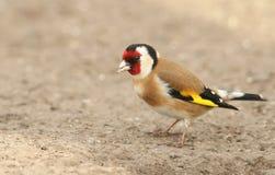 Ένα carduelis ζάλης Goldfinch Carduelis, που σκαρφαλώνουν στο έδαφος που κοιτάζει γύρω για τα τρόφιμα στοκ φωτογραφία
