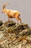 Ένα caucasica capra αγριοκάτσικων που αναρριχείται επάνω στον απότομο βράχο Στοκ φωτογραφίες με δικαίωμα ελεύθερης χρήσης
