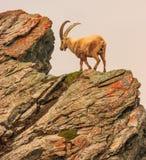 Ένα caucasica capra αγριοκάτσικων στον απότομο βράχο βουνών Gornergrat, Zermatt, Ελβετία Στοκ Εικόνα