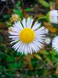 Ένα chrisanthemum στοκ εικόνες