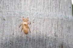 Ένα Cicada κοχύλι κρεμά στον κορμό δέντρων στοκ εικόνα