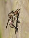 Ένα cingulatus Machimus μυγών ληστών που ταΐζει με το θήραμά του μια άλλη μύγα Στοκ Εικόνες