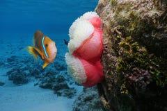 Ένα clownfish με ένα anemone θάλασσας υποβρύχιο Στοκ φωτογραφία με δικαίωμα ελεύθερης χρήσης