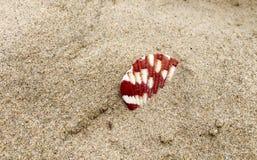 Ένα conch στοκ φωτογραφίες