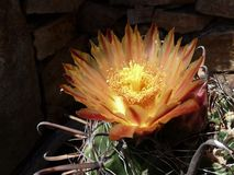 Ένα cWho κάκτων αυξήθηκε ένα όμορφο λουλούδι! στοκ εικόνες με δικαίωμα ελεύθερης χρήσης