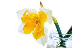 Ένα daffodil σε ένα βάζο γυαλιού Στοκ εικόνα με δικαίωμα ελεύθερης χρήσης