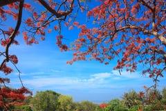 Ένα Delonix Regia στην κόκκινη άνθιση σε ένα πάρκο στο Βιετνάμ, στη θερινή θάλασσα Στοκ Φωτογραφίες