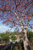 Ένα Delonix Regia στην κόκκινη άνθιση σε ένα πάρκο στο Βιετνάμ, στη θερινή θάλασσα Στοκ φωτογραφία με δικαίωμα ελεύθερης χρήσης