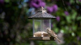 Ένα finch σπιτιών πουλί σε έναν τροφοδότη στοκ εικόνα με δικαίωμα ελεύθερης χρήσης