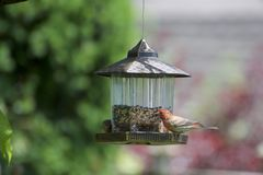 Ένα finch σπιτιών πουλί σε έναν τροφοδότη στοκ φωτογραφία
