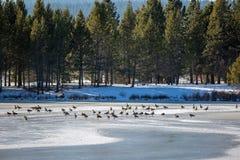 Ένα gaggle των χήνων σε έναν πάγο στοκ εικόνα με δικαίωμα ελεύθερης χρήσης