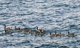 Ένα Gaggle των χήνων στη λίμνη Μίτσιγκαν στοκ εικόνες με δικαίωμα ελεύθερης χρήσης