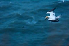 Ένα gannet που πετά κατά μήκος των απότομων βράχων bempton, Γιορκσάιρ, UK Στοκ φωτογραφία με δικαίωμα ελεύθερης χρήσης