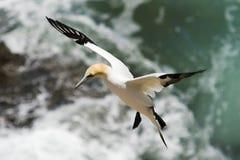 Ένα Gannet που προσγειώνεται στην κορυφή απότομων βράχων Στοκ Εικόνες