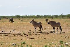 Ένα Gemsbok (gazella Oryx) Στοκ Φωτογραφία