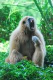 Ένα gibbon στη δράση χασμουρητού Στοκ Εικόνες