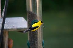 Ένα Goldfinch σε έναν τροφοδότη σπόρου κάρδων στοκ φωτογραφία με δικαίωμα ελεύθερης χρήσης