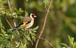 Ένα Goldfinch, carduelis Carduelis στοκ εικόνες