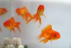 Goldfish Στοκ Φωτογραφίες