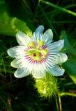 Ένα grassflower 1 Στοκ φωτογραφία με δικαίωμα ελεύθερης χρήσης