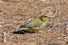 Ένα greenfinch - chloris - που ψάχνει τα τρόφιμα στο ξύλο στοκ φωτογραφία