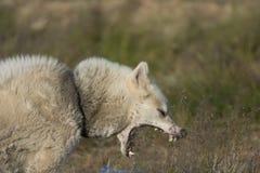 Ένα greenlandic σκυλί στην επιθετική στάση, Sisimiut, Γροιλανδία στοκ εικόνα