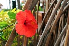 Ένα Hibiscus λουλούδι στοκ εικόνες