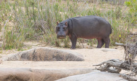 Ένα hippo από το νερό κατά τη διάρκεια της ημέρας Στοκ εικόνες με δικαίωμα ελεύθερης χρήσης