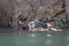 Ένα hippo που κοιτάζει αδιάκριτα από το πράσινο νερό στοκ εικόνα