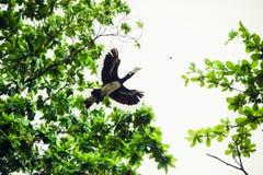 Ένα hornbill πετά Στοκ Εικόνα