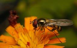 Ένα Hoverfly σε ένα λουλούδι Στοκ εικόνα με δικαίωμα ελεύθερης χρήσης