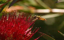 Ένα Hoverfly σε ένα λουλούδι Στοκ Εικόνα