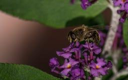 Ένα Hoverfly σε ένα λουλούδι Στοκ Φωτογραφία