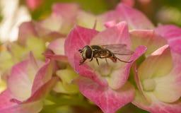 Ένα Hoverfly σε ένα λουλούδι Στοκ Φωτογραφίες